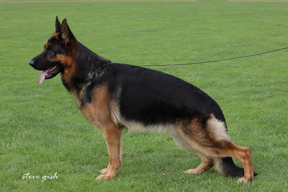 GSD Male For Sale