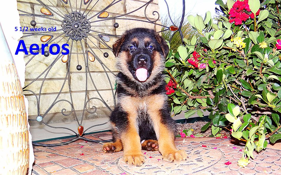 Sparer German Shepherds Gsd Puppies For Sale