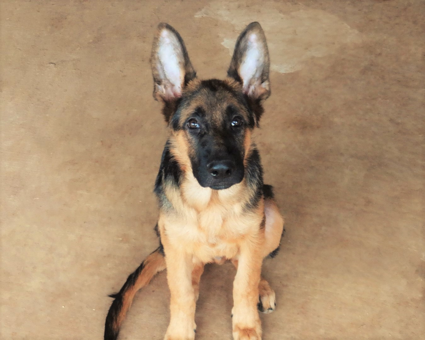 Trained GSD Male for Sale