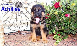 GSD puppy for sale in texas