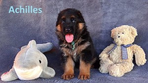 gsd-puppy-for-sale