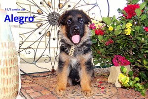 male gsd puppies